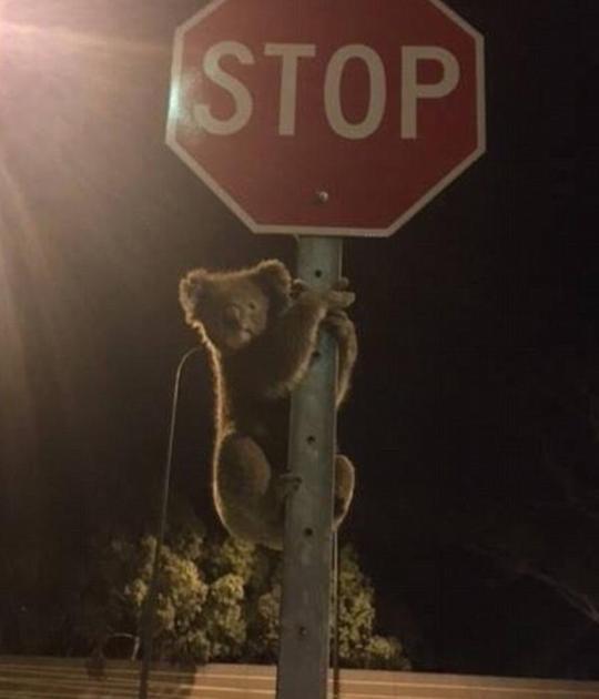"""环球网综合报道据英国《每日邮报》1月8日报道,在澳大利亚南部城市阿德莱德,一只""""迷途""""考拉在夜晚误将路边的停车标识当成桉树,人们给它拍照时它紧抓金属杆不放,对交通造成了一些影响。"""