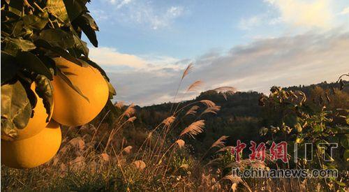 金灿灿的蜜柚在枝头上排着队,却鲜有果农采摘。前段时间,湘西州凤凰县菖蒲塘村的蜜柚喜获丰收,但村民们却怎么也乐不起来。其实早在两个月前,早产的福建蜜柚就已经塞满了全国大大小小的水果柜台和仓库,而湘西蜜柚因为品种和气候原因,花期长下树��,数万斤果树却挂在了枝头。连日来,蜜柚滞销的困境,成了压在村民心中的一块大石头。
