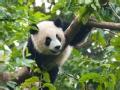 熊猫闯祸之后