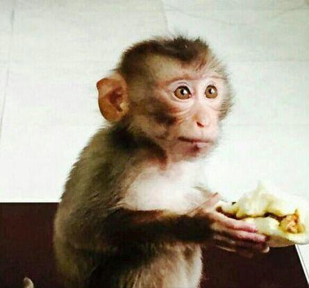 南京现食蟹猴 有吃的就磕头作揖精灵可爱(图)