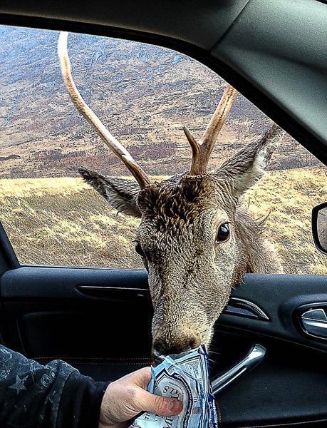 环球网综合报道据英国《每日邮报》1月14日报道,两名游客开车行驶在《007 大破天幕杀机》取景地之一的苏格兰埃蒂夫峡谷,中途停车时,一只小鹿靠近他们的车并突然抢他们手中的甜食。所幸他们反应敏捷,这只喜欢吃甜食的大胆小鹿并没有得逞。小鹿突袭不成后,转身离开,两名游客及车辆安然无恙。