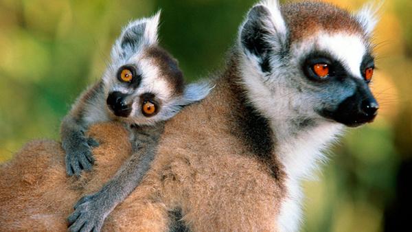 可爱的鼠狐猴_维氏冕狐猴,棕灰色 鼠狐猴