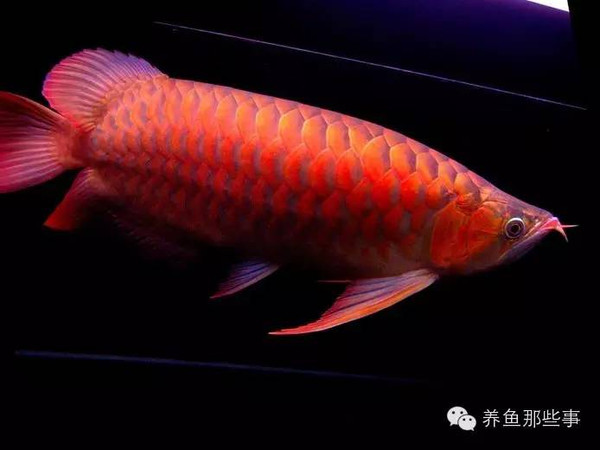 三、要适度的植物灯照(以120cm长的缸子为例40w的植物灯强度刚好适和红龙鱼的