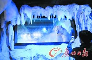 `1月19日,正佳极地海洋世界里的北极熊。 广州日报记者邱伟荣 摄