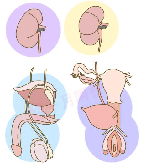 肾脏解剖结构图ppt