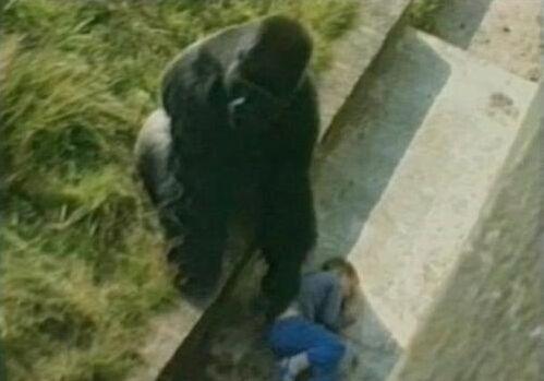 男孩失足掉猩猩窝猩猩便将其保护好