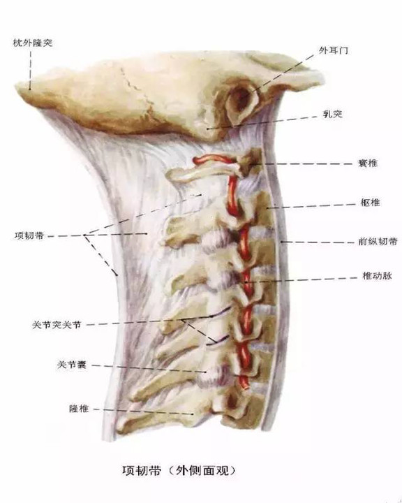 脊椎影像检查,这些解剖结构是基础