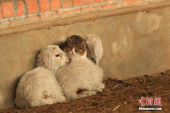 喵星人躲在绵羊身上取暖和