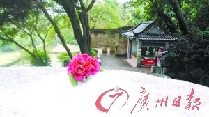 西樵山茶花园内,游客将花朵置于堆起的雪中,意境十分特别。
