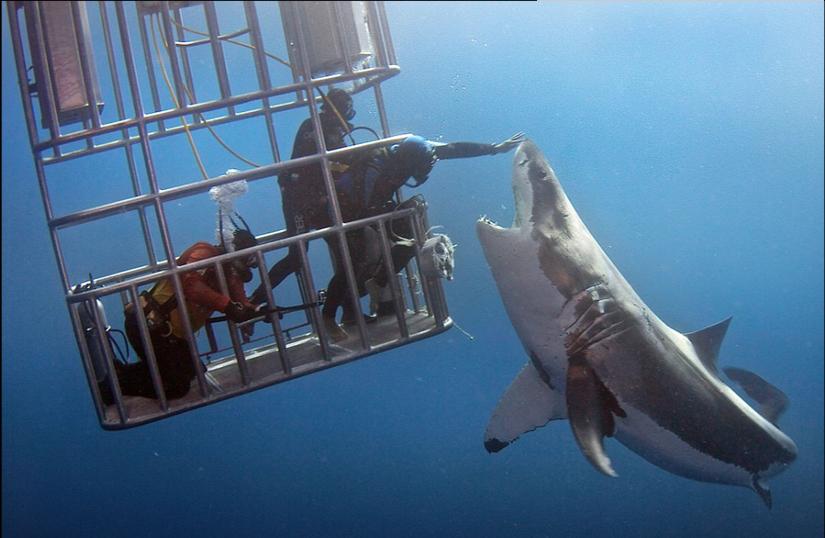 鲨鱼一向是为大多数人所畏惧的海底生物,他们给人的印象往往是体型庞大,,行动敏捷,捕食的时候精准且毫不留情。正因如此,许多人会害怕与鲨鱼接触。然而,总有一些艺高人胆大的特例,《每日邮报》25日报道,这三名潜水员就与一头白鲨进行了亲密接触。