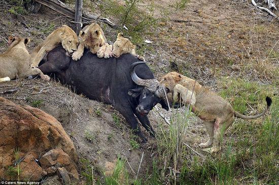 通过90分钟的决死格斗,水牛终究众寡悬殊,倒在地上。