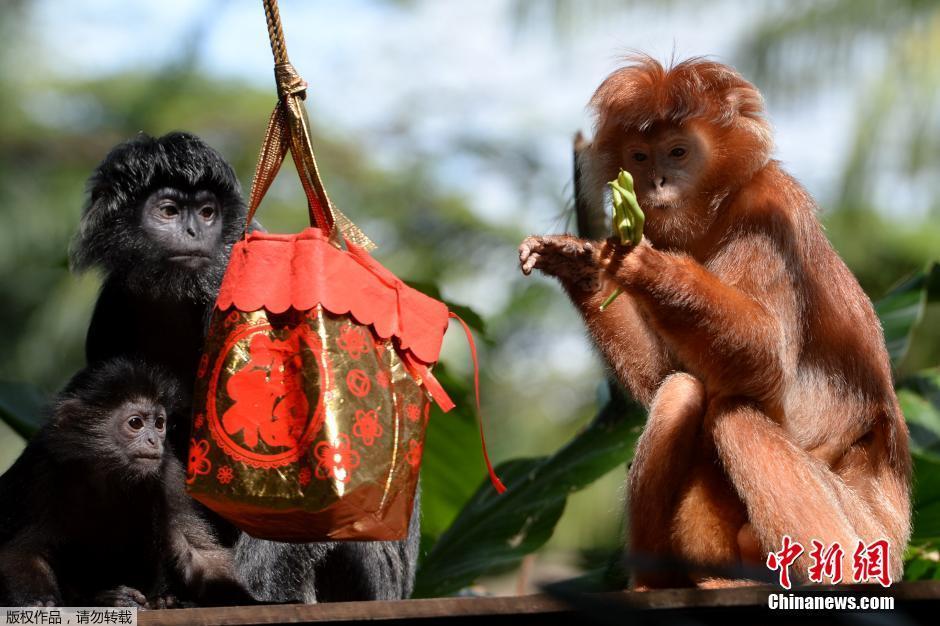 间1月27日,新加坡野生动物保育集团内猴子们 迎接 猴年新春