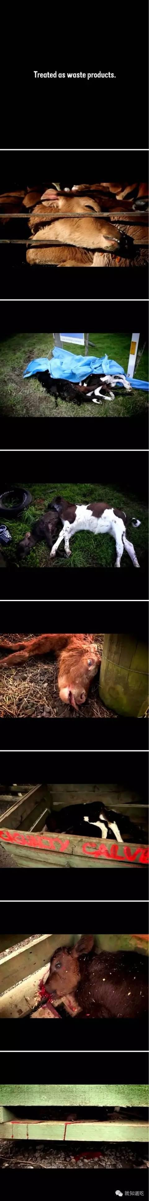 每年都有大约200万小公牛在出生的第四天就被屠宰,被肆意抛掷,用榔头砸头,再被小刀将喉咙割破,它们眼睁睁地看着自己死,却什么都不能做。