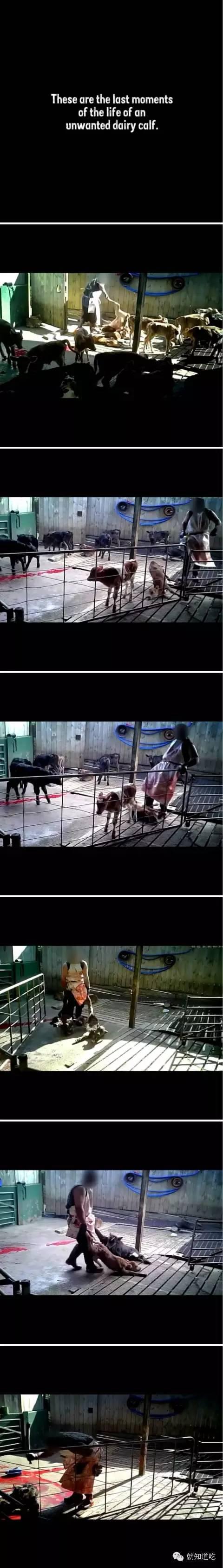 除了这些,每头母牛所受到的几乎没有间隙的挤压对它们的身体造成了极大的压力,导致它们遭受严重乳腺炎的困扰,而由于挤奶时要长时间站在混凝土地面上多数奶牛都是跛脚。