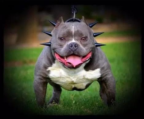 属于真男人的犬种--恶霸犬