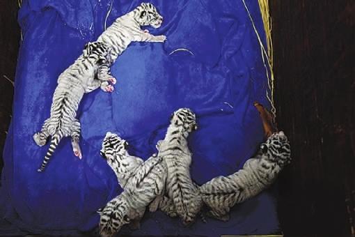 白虎骚屌_长沙白虎六胞胎等你来助养(图)