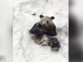 《艾伦秀第13季片花》第88期 大熊猫暴雪中躺平抠脚 艾伦观众席狂跳热舞