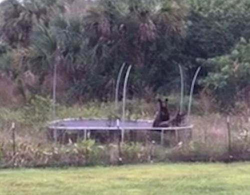 两只黑熊崽跑进住户的院子,玩起了蹦床。