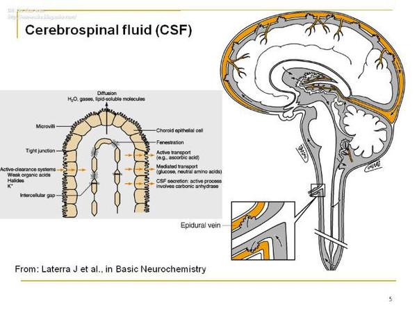血脑屏障的解剖结构