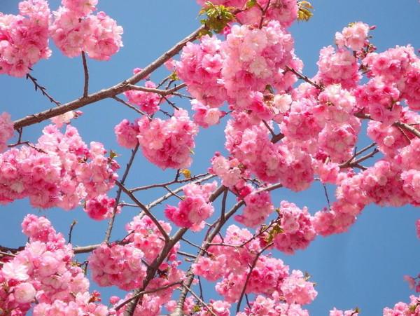 樱花树的地理分布