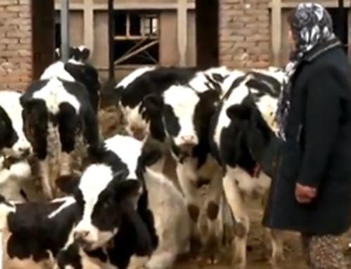 济南一养殖场被扔鞭炮 2头牛被吓死10多头流产
