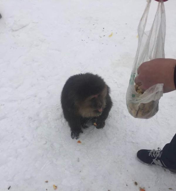 受伤灵猴已被诱喂放了安息药的饮料,正期待其休眠后施救。