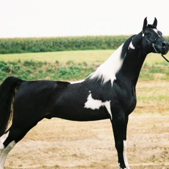 美国骑乘种马:镜头感十足 天生的舞蹈