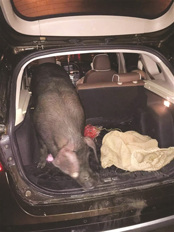 职员将SUV的后排座椅放下,把乌猪塞了出来。
