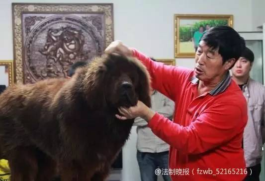 """""""以前,老外老批评咱们中国人没有养宠物的观念,像藏獒这样的珍贵动物,还经常被捕杀了吃掉。""""马俊仁说,""""你们老外能玩儿,中国人也能玩儿,而且我们还就玩藏獒,不玩你们老外的牧羊犬。"""""""