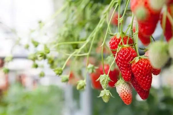 市面上的牛奶草莓真的是用牛奶浇灌出来的吗? 胡言乱语 如果这是真的,我们从小到大喝那么多牛奶,岂不是现在每个人都带着牛奶的体香。 专业解答 草莓的外形、口感由品种决定。市面上常说的牛奶草莓,其实是来源于日本的草莓品种章姬,章姬草莓果形细长圆锥型,口感清甜,有淡淡的奶香味。完全成熟果通体红色,果肉细嫩,皮薄,不易运输和储存,为了给运输和销售留够时间,一般章姬草莓在七八分熟时采摘,近萼片部位还是白色,口感也比完全成熟时稍差。
