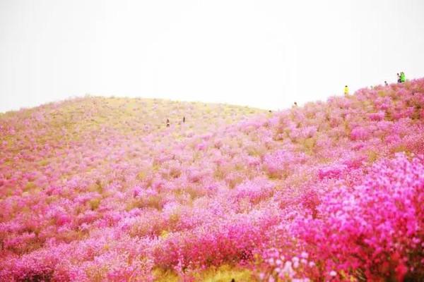 柳兰,紫菀,毛菊
