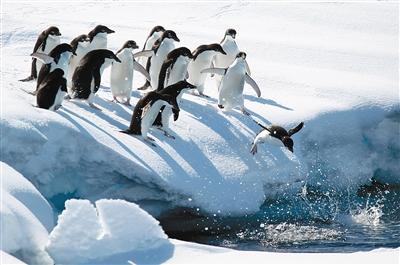 生活在南极的阿德利企鹅 东方IC供图