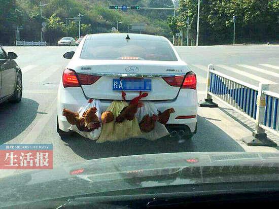 """广西一车外挂7只鸡走红 揭秘""""后置发动鸡""""真相"""