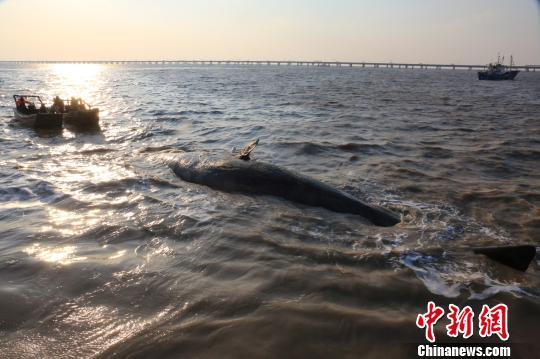 两条抹香鲸搁浅 专家称死亡时间均在3至5天