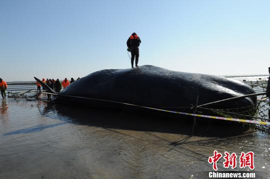 图为今天打捞上岸的抹香鲸,身长约15.6米,重约50吨。 陈建明 摄