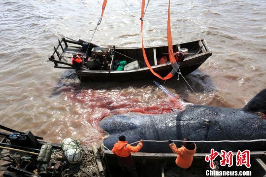 50吨抹香鲸搁浅滩涂 3根30吨吊带将其打捞上岸