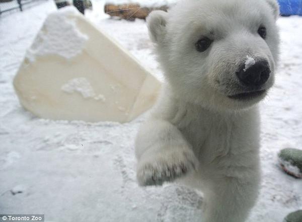 第一次见到雪的小北极熊炒鸡萌!什么什么的蜘蛛图片