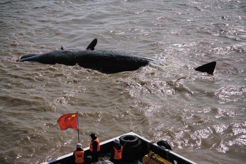 工作人员在如东县洋口港经济开发区阳光岛码头准备打捞其中一头抹香鲸
