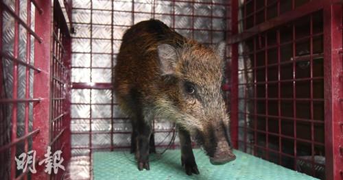 野猪重40磅,被人以铁丝网带走。香港《明报》网站/林智杰 摄