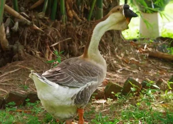 鹅怎么区分公母-公鹅经不住诱惑,和白鹅在一起了.   母鹅伤心离开图片