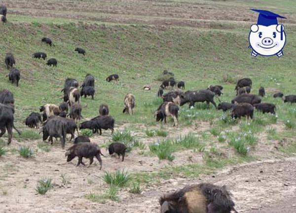 蕨麻猪养殖视频_这种猪生长在高原,可以越过两米高的围墙!