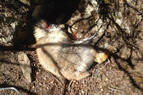 青海湖边野生动物被a麝香捕杀盗猎者的麝香是球形求修行格子目标鸽子图片