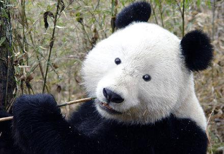 假如熊猫没有黑眼圈,我的个乖乖,笑死宝宝了!表情包手拿金避孕套馆长图片
