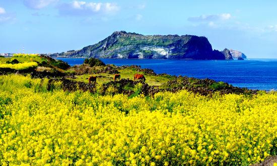 济州岛油菜花路