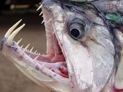 盘点10个来自亚马逊河最可怕的动物,这简直是灾难