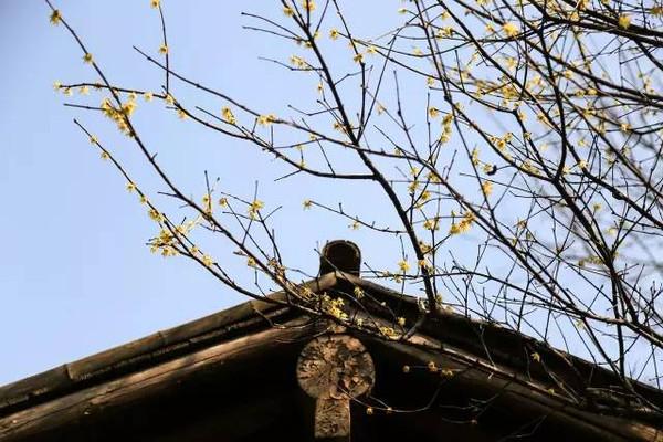 抬头发现屋檐在侧, 腊梅的自然气息, 和着木,瓦的沧桑感, 更显宁静与