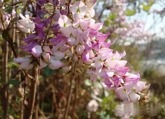 广州的花 疯 一样盛放,刚拍的,美到爆