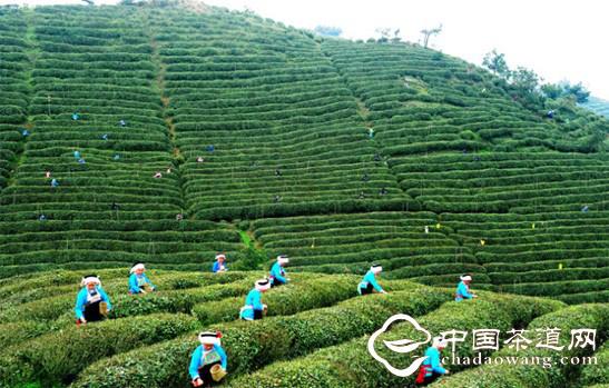 2012年贵州茶叶产量10.2万吨,综合产值86.图片