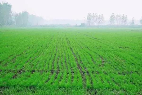春天麦地里几近消逝的野菜,你认识几种 豫记