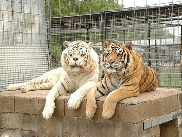 最很的老虎_我很虎图片